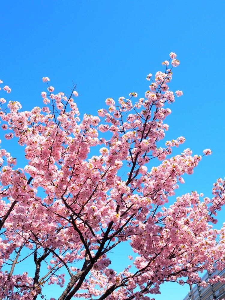 山麓駅前桜並木