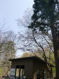 森の桜-B